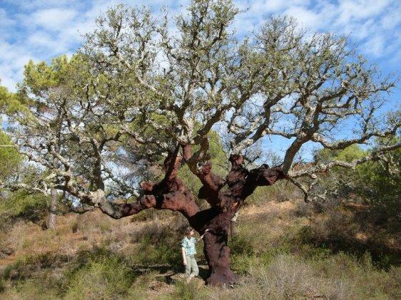 Sobreiro (Quercus suber) no Algarve, Portugal (Hannes Grobe)