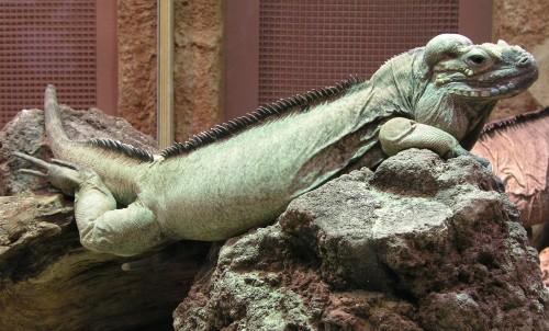iguananavassa