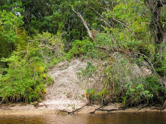 Evidência da existência de um sambaqui sob a densa Mata Atlântica em Cananéia.
