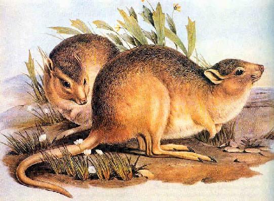 ratocanguru