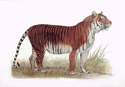 tigrejava