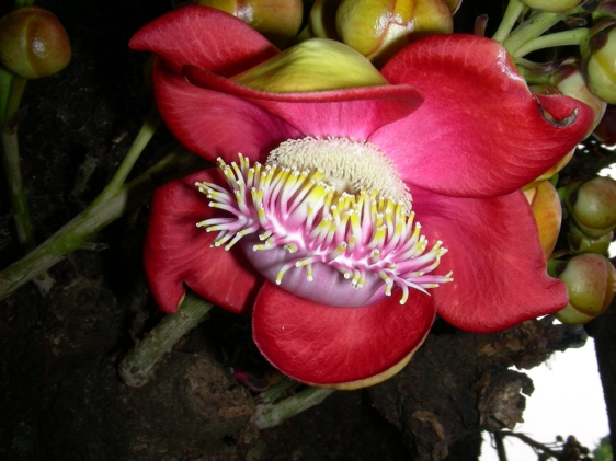 Flor do Abricó-de-Macaco