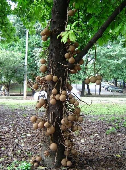 Frutos do Abricó