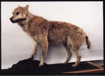 canislupushodophilax