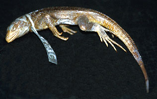 leiocephaluseremitus