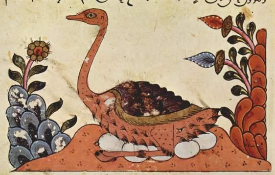 avestruzarabe