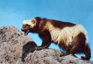 Wolverine: Um animal com três garras que enfrenta animais maiores