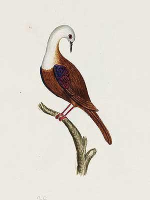 gallicolumbanorfolciensis