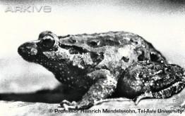 Discoglossusnigriventer