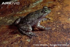 rheobatrachussilus