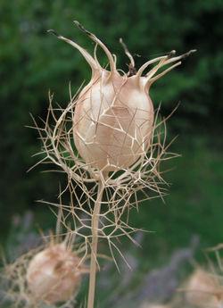 Fruto da Cabelo de Vênus já quase a abrir-se.