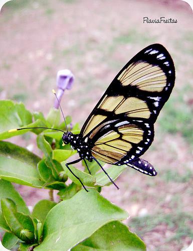 borboletamanaca