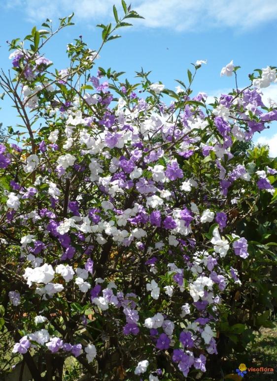 arvore manaca jardim:Manacá-de-Cheiro (Brunfelsia uniflora)
